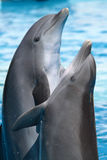 Dancing dolphins. Two dolphins dancing in the water stock photography