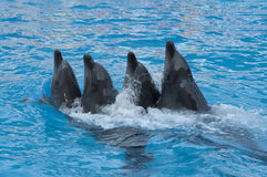 Dancing dolphins. In the blue water Stock Photos