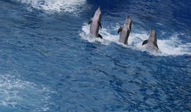 Dancing dolphins. Group of trained dolphins dancing in the water Royalty Free Stock Image