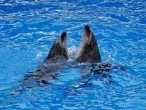 Dancing dolphins in the pool stock image