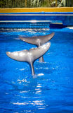 Dancing dolphins tails Royalty Free Stock Photos
