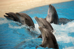 Dancing dolphins Stock Images