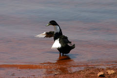 Dancing Duck Stock Image