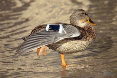 Dancing duck Royalty Free Stock Photography