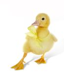 Dancing ducky stock photo