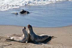 Dancing Elephant Seals at Piedras Blancas, San Simeon royalty free stock photography