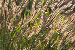 Dancing of Feather Pennisetum or mision grass. Stock Photography