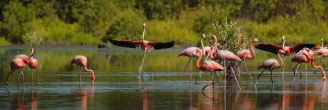 Dancing Flamingo. Royalty Free Stock Images