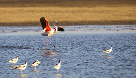 Dancing Flamingo Stock Image