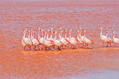 Dancing flamingo Royalty Free Stock Photo