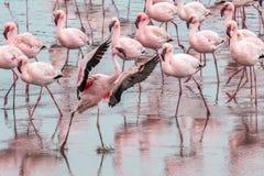 Dancing Flamingo, Swokopmund, Namibia stock image