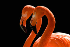 Dancing Flamingos on Black. Two flamingos mirror each other against a black background Royalty Free Stock Image