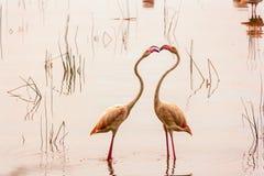 Dancing flamingos . royalty free stock image