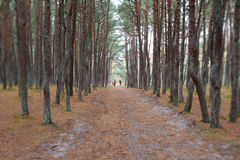 Dancing forest. Kaliningrad region Stock Photos