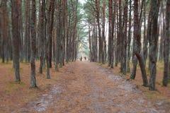 Dancing forest. Kaliningrad region Stock Photos
