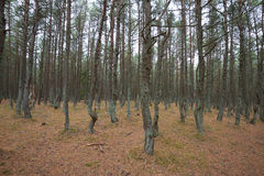 Dancing forest. Kaliningrad region Royalty Free Stock Image