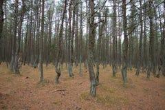 Dancing forest. Kaliningrad region Royalty Free Stock Image