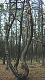 Dancing forest. In the protected zone of the Curonian spit is dancing in the forest all the trees are waving as if in a dance Royalty Free Stock Photos