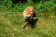 Dancing fox. A turning fox in a British woodland Stock Photography