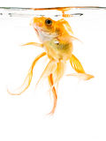 Dancing Goldfish. Goldfish on a white background Stock Images