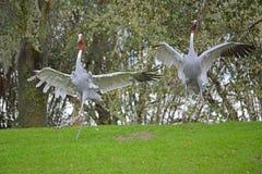 Dancing gray crane Stock Photography