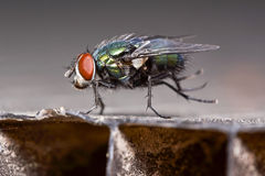 Dancing green fly Stock Photography