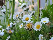 Dancing group of daisies before dusk stock photography