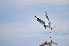 Dancing gull Stock Image