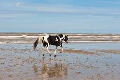 Dancing Horse Royalty Free Stock Image