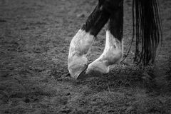 Dancing horse's legs Royalty Free Stock Photography