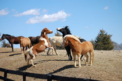Dancing horses. Dancing chestnut skewbald and black baldfaced horses Stock Photo