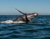 Dancing humpback whale. A whale jumps out of the water in the pacific ocean royalty free stock photos
