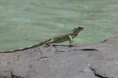 Dancing Iguana on Rocks Along the Water`s Edge Stock Photos