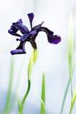 Dancing iris. Violet iris on shore in summer garden Royalty Free Stock Images