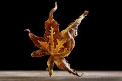 Dancing Japanese Red Maple Leaf Stock Photography