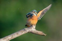 Dancing kingfisher Royalty Free Stock Photography