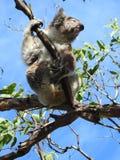 Dancing Koala. Swinging Koala in Victoria Australia royalty free stock image
