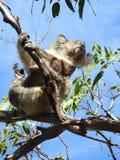 Dancing Koala. Swinging Koala in Victoria Australia royalty free stock photography