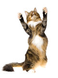 Dancing Maine Coon brown tabby. Brown tabby Maine Coon, on white background royalty free stock photography