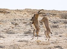 Dancing Male Ibex in Natural Habitat near Mitspe Ramon in Israel stock image