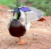 Dancing Mallard. Male mallard duck on one foot with its left wing in the air Royalty Free Stock Photography
