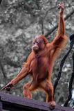 Dancing orang utan Stock Photo