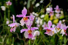 Dancing orchid. Purple pink orchid in the garden for decorate Royalty Free Stock Photos