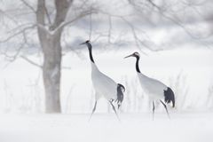 Free Dancing Pair Of Red-crowned Crane, Snow Storm, Hokkaido, Japan. Bird In Fly, Winter Scene With Snow. Snow Dance In Nature. Wildlif Royalty Free Stock Images - 102082159