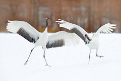 Dancing pair of Red-crowned crane with open wing in flight, with snow storm, Hokkaido, Japan. Bird in fly, winter scene with snow stock images