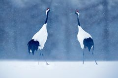 Dancing pair of Red-crowned crane with open wing in flight, with snow storm, Hokkaido, Japan. Bird in fly, winter scene with snow. Snow dance in nature stock image