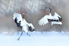 Dancing pair of Red-crowned crane with open wings, winter Hokkaido, Japan. Snowy dance in nature. Courtship of beautiful large whi