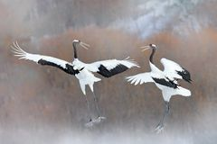 Dancing pair of Red-crowned crane with open wings, winter Hokkaido, Japan. Snowy dance in nature. Courtship of beautiful large. White birds in snow. Bird love royalty free stock photos