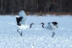 Dancing pair of Red-crowned cranes grus japonensis with open wings on snowy meadow, mating dance ritual royalty free stock photos