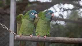 Dancing parrots in the same way. The parrots are showing their talent of dancing and move in very synchronous way royalty free stock image